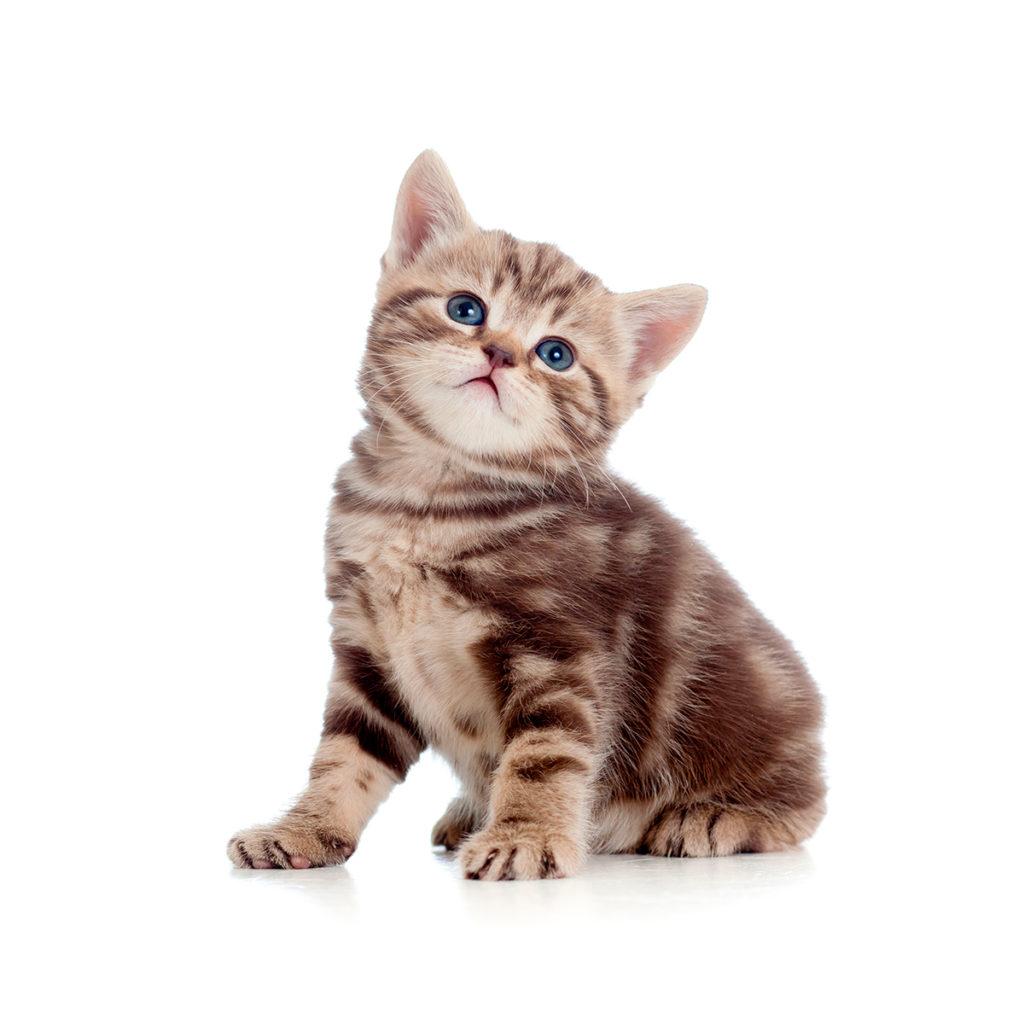 Vacuna de gatitos